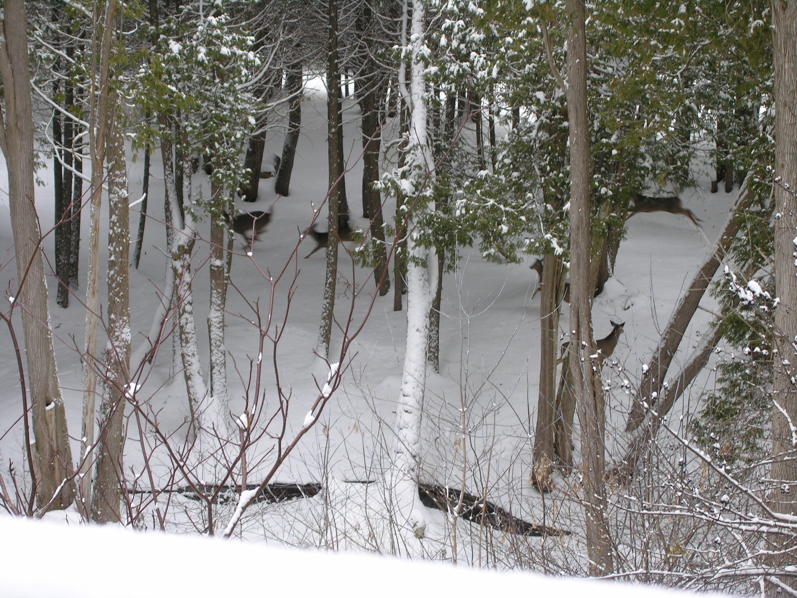 Ten Years Ago My Wife And I Spotted Deer In The Woods Below Our House In  Elora, For The First Time Ever. There Was Also A Lot Of Noisy Activity From  The ...